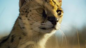 Close up a serval cat with spotted like a cheetah and extra long legs, Savanna, Africa stock image