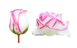 Set of two white roses flower head with pink edge bud and booming isolated on white background royalty free stock photos