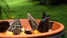 Brown and blue tropical butterflies eating fruits. Close up of several beautiful vivid brown and blue tropical rainforest butterflies eating fruits in butterfly stock video