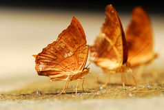 Close up of several brown colored butterflies. Royalty Free Stock Photo