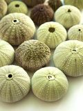 Close up of green urchins stock image