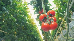 Close up of several mature tomatoes hanging from a branch stock video footage