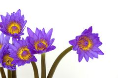 Purple water lily flowers Royalty Free Stock Images