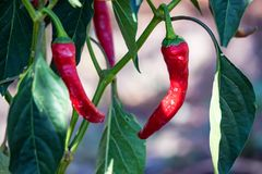 Organic red chili peppers grow in garden. Close up several red hot chili peppers growing in vegetable garden Royalty Free Stock Image