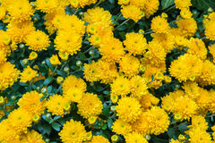 Close up of several yellow flowers Royalty Free Stock Photos