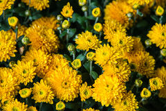 Close up of several yellow flowers Stock Image