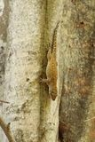 Close up of a Bronze Eye Gecko. Close up of a Seychelles Bronze Eyed Gecko on a tree trunk stock images