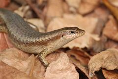 Close up of a Seychelles Skink lizard royalty free stock image