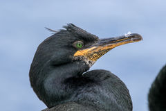 Close up of a shag with feather stuck to its beak Royalty Free Stock Image