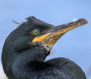 Close up of a shag with feather stuck to its beak Stock Photos