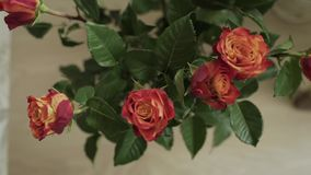 Close up shallow depth of field motion time lapse shot of vivid pink roses drying up and turning purple as they die. stock footage