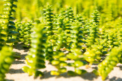 Close-up with shallow depth of field of sand seawort, Honckenya, Royalty Free Stock Photo