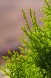 White Cedar - Thuja Occidentalis Close up, shallow depth Royalty Free Stock Images