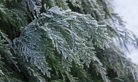 White Cedar - Thuja Occidentalis Close up, shallow depth Stock Photo