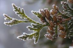 White Cedar - Thuja Occidentalis Close up, shallow depth. Close up, shallow depth of field of White Cedar - Thuja Occidentalis royalty free stock image