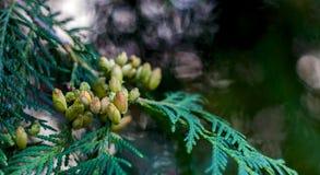 White Cedar - Thuja Occidentalis Close up, shallow depth Royalty Free Stock Photography