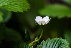 Close-up and shallow focus of a strawberry flower Royalty Free Stock Images