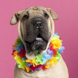 Close-up of Shar-pei wearing Hawaiian lei Royalty Free Stock Images