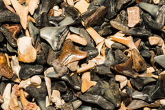 Shark Tooth Background. A close up of shark teeth in a shop in Cape Cod Massachusetts royalty free stock photos
