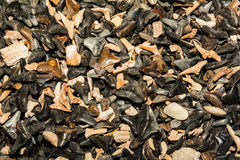 Shark Tooth Background royalty free stock photo