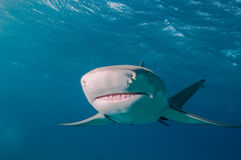 Close up of a sharks nose Royalty Free Stock Photos