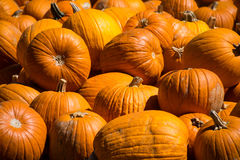 Close Up Sharp Focus on Pumpkins in the Front of a Massive Pile of Pumpkins for Halloween Stock Photo
