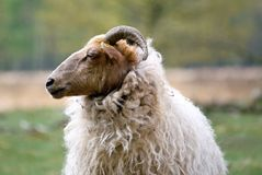 Close up Sheep Royalty Free Stock Photos