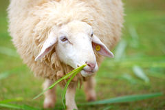 Close up sheep eating food greensward Royalty Free Stock Photography