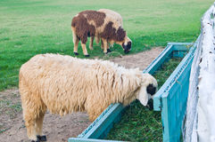 Close up of sheep eating grass Royalty Free Stock Image