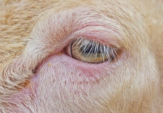 Close up sheep eye Royalty Free Stock Images