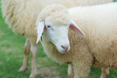 Close up of sheep face Royalty Free Stock Photography