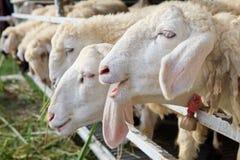 Close up of sheep face in ranch farm Stock Photos