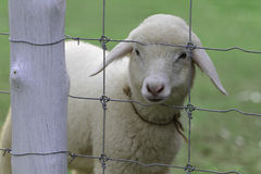 Close up of sheep in farm Stock Image