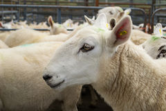 Flock of sheep in a corral Stock Photo