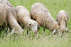 Close up of sheep flock grazing Royalty Free Stock Photos