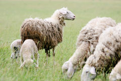Close up of sheep flock Royalty Free Stock Photo