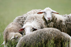 Close up of sheep in flock Stock Image