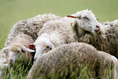 Close up of sheep in flock on meadow Stock Photos