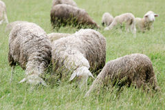 Close up of sheep flock on meadow Royalty Free Stock Images