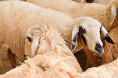 Close up Sheep  focus on sheep eye Royalty Free Stock Images