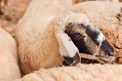 Close up Sheep  focus on sheep eye Royalty Free Stock Photos