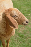 Close up Sheep focus on sheep eye royalty free stock photography