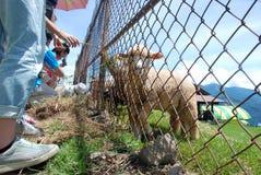 Close up sheep and grasses field at Chingjing, Taiwan Stock Image