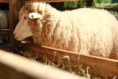 Sheep in the farm Royalty Free Stock Image