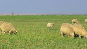 Close Up of Sheep Grazing in Pasture stock video