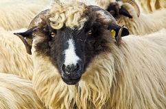Close up of a sheep head. Close up of a domestic sheep head Royalty Free Stock Photos