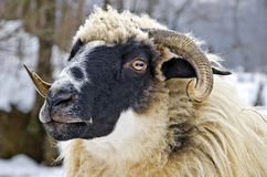 Close up of a sheep head. Close up of a domestic sheep head Royalty Free Stock Images