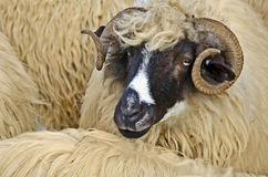 Close up of a sheep head. Close up of a domestic sheep head Royalty Free Stock Photo