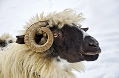 Close up of a sheep head. Close up of a domestic sheep head Stock Photo
