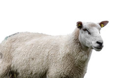 Close-up of a Sheep head against white background Stock Photo